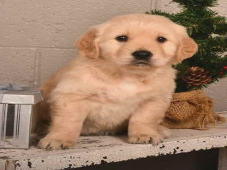 Golden Retriever Puppies For Sale In Ohio Under 200 Golden