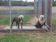 100% johnson bulldogs. American Bulldog puppies @ www.pups4sale.com.au