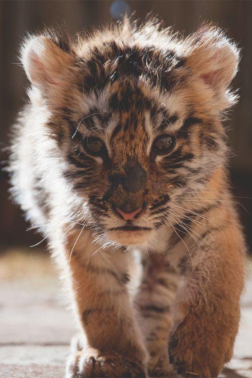 Tiger - Kleinkind, so süß und knuffig müssten sie bleiben. Da könnte man die kleinen Wuschel noch knuddeln! 😊❤