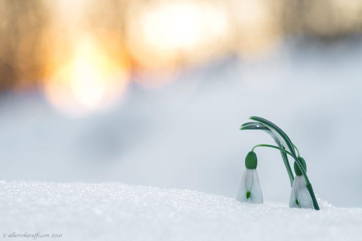 Snowdrops - null