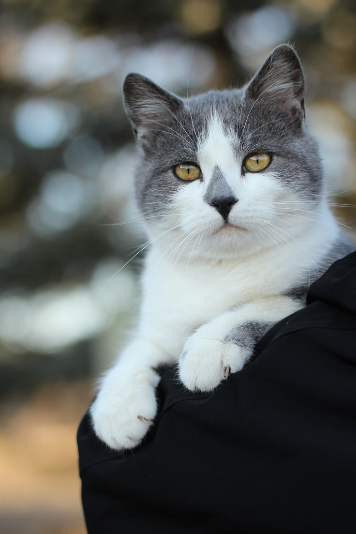 29 Best Gray And White Cats Images On Pinterest