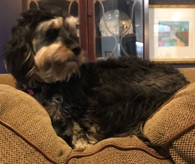 Adopt Bernice On Petfinder Shih Tzu Puppy Shih Tzu Dog Adoption
