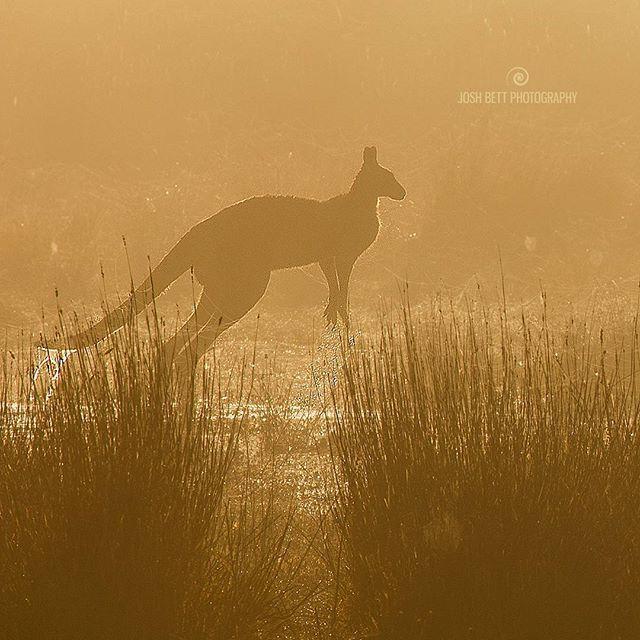Eastern Grey Kangaroo bouncing through the morning fog on the floodplains of Wagga Wagga, NSW, Australia.  #JoshBett #JoshBettKangaroo