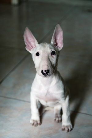 Have you heard? There's a book all about mini bull terriers! http://amzn.to/17KpEf2