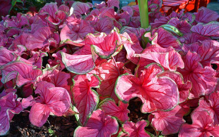 A Middle of the Garden Season Caladium Planting Solution - Shawna Coronado
