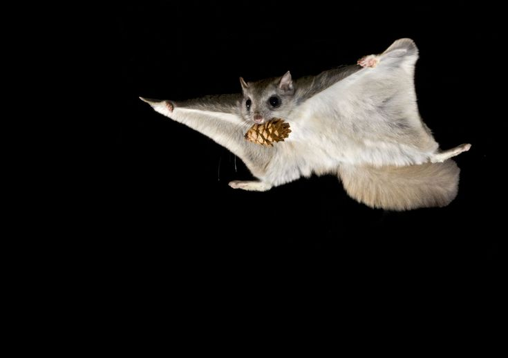 Wintertime in a remote Montana forest heralds the arrival of mating season for the flying squirrel—and one of nature's most spectacular air shows.