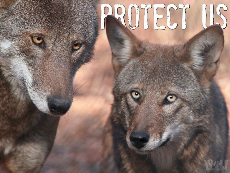 Help the Last Wild Red Wolves | Wolf Conservation Center. Visit the website.
