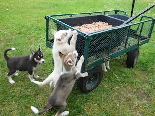 Huskies take a snack, Rovaniemi, Lapland, Finland