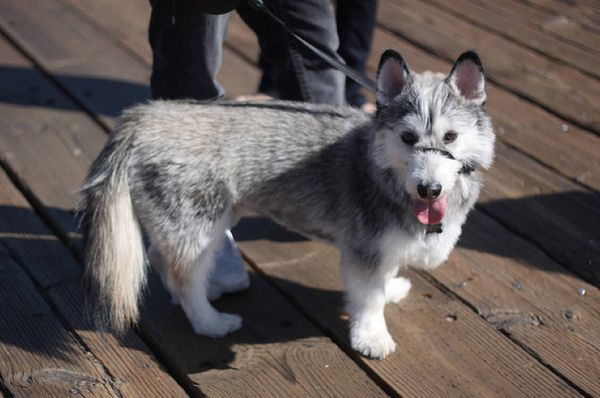 Corgi / Husky mix. How strange that both dogs' key features stand out in the offspring.