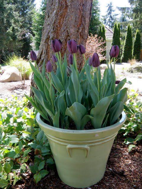 MySecretGarden: Four Tulip Containers