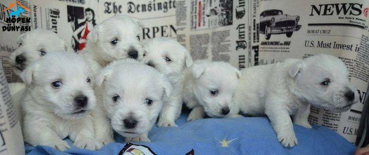 Safkan ırk garantili West Highland White Terrier yavruları uygun fiyatlarla satılıktır.... http://www.kopekdunyasi.com/west-highland-white-terrier-yavrulari-satiliktir.html