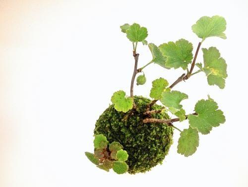 苔玉(ヤシャビシャク) - tito mossball, BONSAI