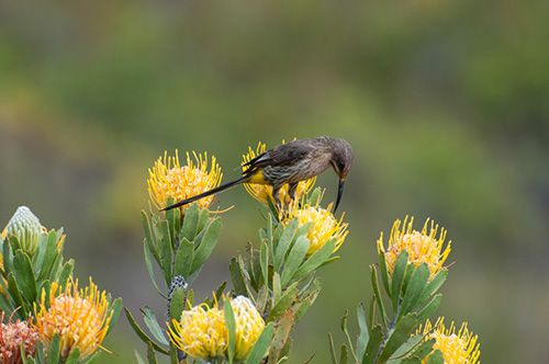 Cape Sugarbird (short tail), Protea's in full bloom also to be seen on the Swartberm Mountain Pass and the Outeniqua Pass, South Africa