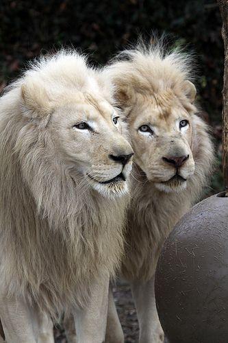 ~~Cincinnati Zoo ... Pretty boys ~ White Lions by Connie Lemperle~~