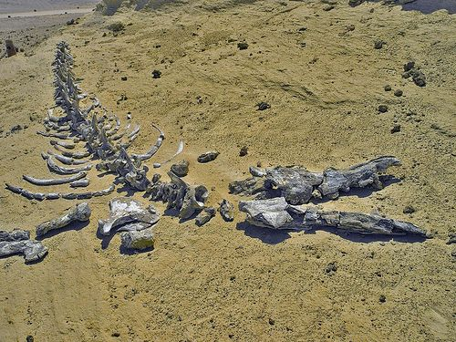 Fossil remains of whales in the Atacama Desert