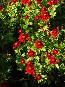 431049 - Chrysanthemum (Chrysanthemum indicum 'Fellbacher Wein')