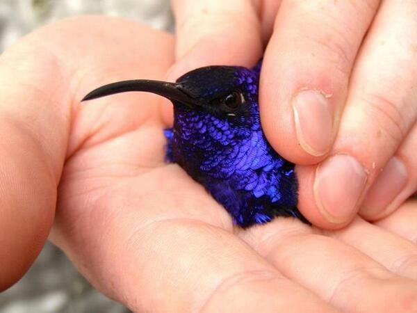 Brilliant Purple Hummingbird