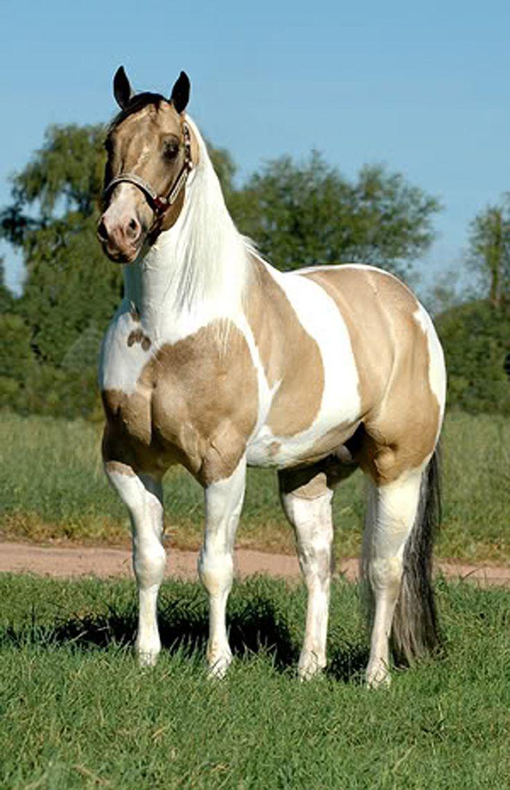 1552 best paint  pinto horses images on pinterest