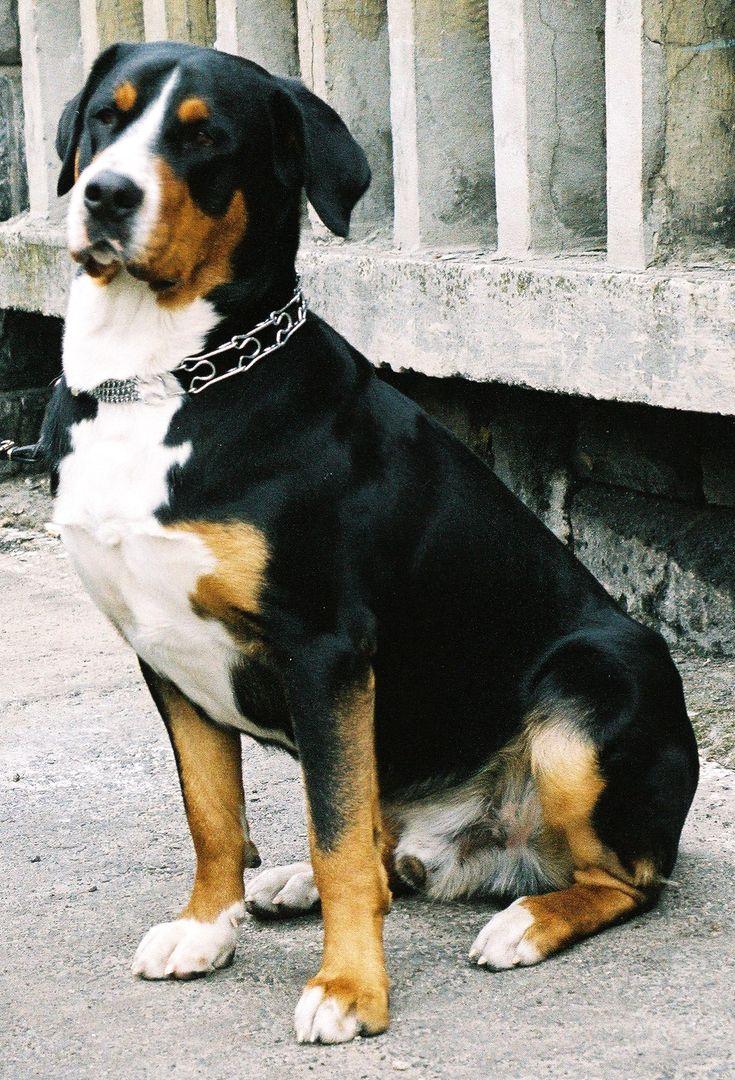 El Boyero de Entlebuch es el de menor tamaño de los Sennenhund o perros de montaña suizos, un tipo de perro que incluye cuatro razas regionales.   EntlebucherBall2 wb.jpg     El término Sennenhund hace referencia a unas personas características de los Alpes suizos, pastores de profesión conocidos como Senn. Entlebuch es un municipio del cantón de Lucerna, en Suiza. La raza de perro también se conoce en inglés como Entelbuch Mountain Dog y Entelbucher Cattle Dog