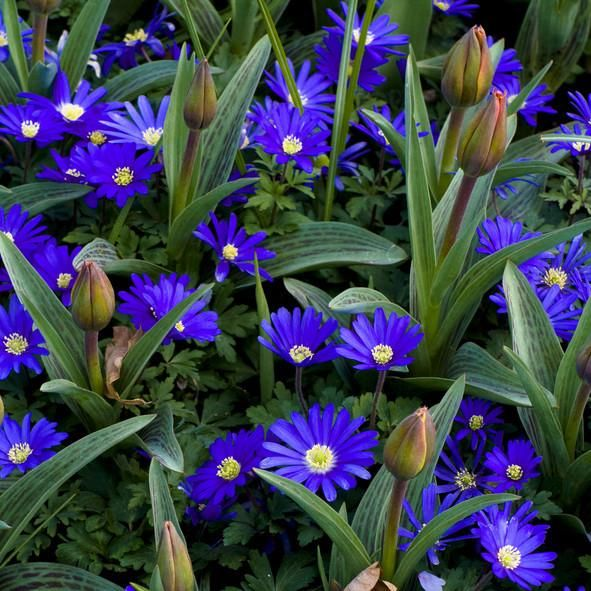"ANEMONE BLANDA ""BLUE STAR"" - 5 BULBS"