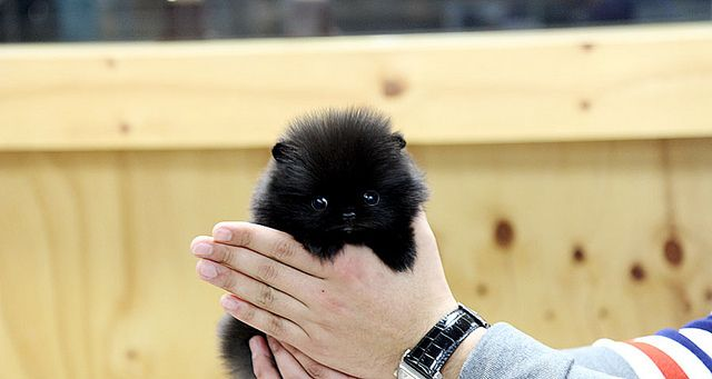 black teacup pomeranian puppies | high quality teacup black pomeranian puppy | Flickr - Photo Sharing!