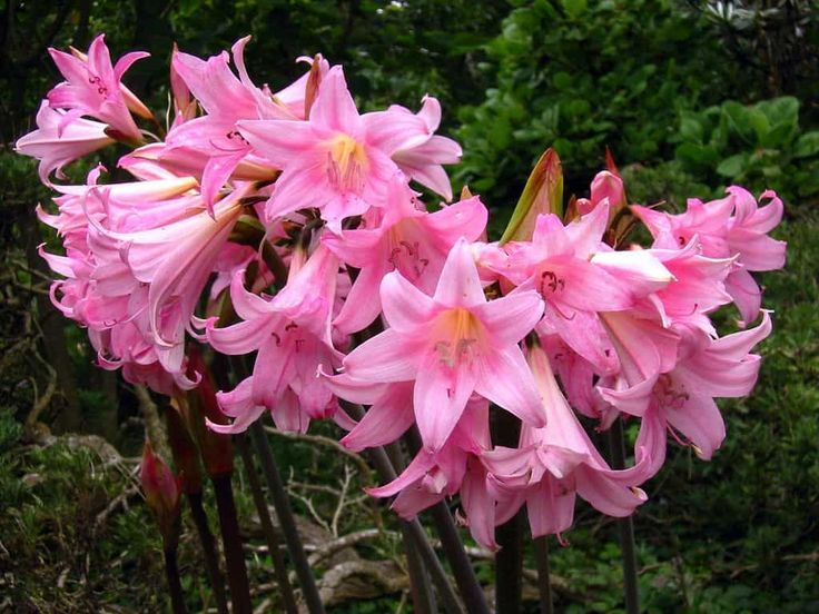 Amaryllis Belladonna Flowering Plants In The Garden : Growing Amaryllis Belladonna Flowering Plants