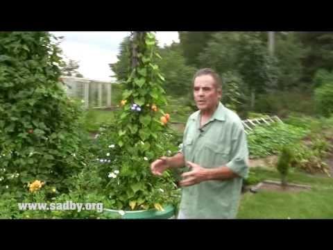 Делаем пирамиду из фасоли: красивую и урожайную! - YouTube