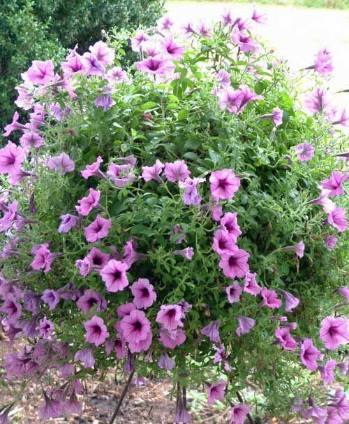 The 25+ Best Purple Perennials Ideas On Pinterest