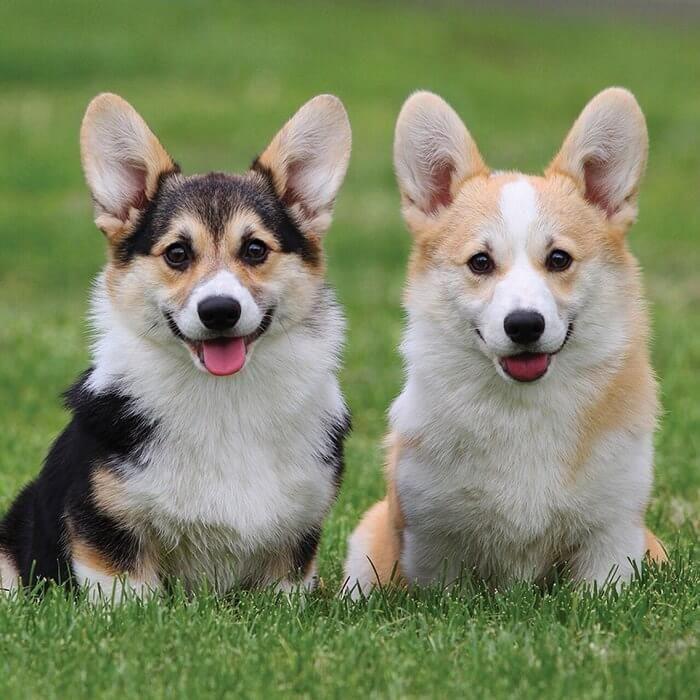 230 Twin Dog Names Corgi Corgi Dog Puppies