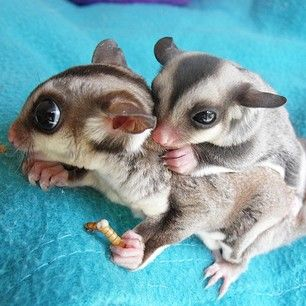 This baby sugar glider who is getting a piggyback ride from his mom. | 31 Pictures Of Baby Animals To Remind You The World Is Wonderful