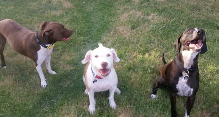 All my pitbull type dogs in one picture, not the best pose but they're there!  (Karma, left, American pitbull terrier. Joey, middle, pitbull terrier mix. Chewy, right, blue tick coonhound pitbull terrier mix.)