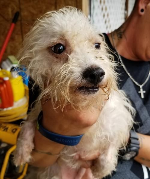 Cosmos Hicks is an adoptable Poodle searching for a forever family near Shoreline, WA. Use Petfinder to find adoptable pets in your area.