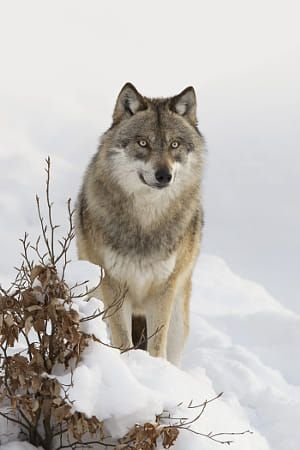 Close-up portrait of Wolf (Canis lupus) in winter, Bavarian Forest National Park, Bavaria, Germany