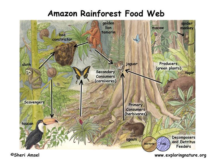 The food web of the tropical rainforest is extremely complex with several overlapping trophic levels. With such high biodiversity, there are many possible scenarios or predatory action. This picture represents the complexity of a tropical rainforest foodweb.
