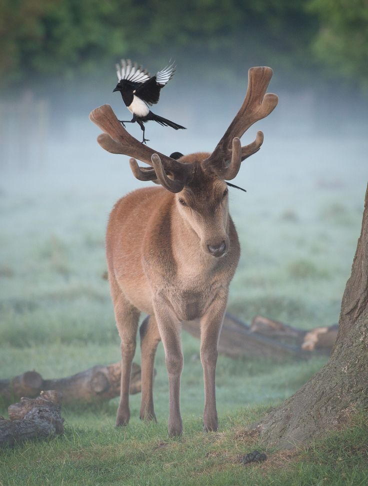 Tiny Dancer - A pair of magpies look for ticks on the fresh spring coat of this red dee