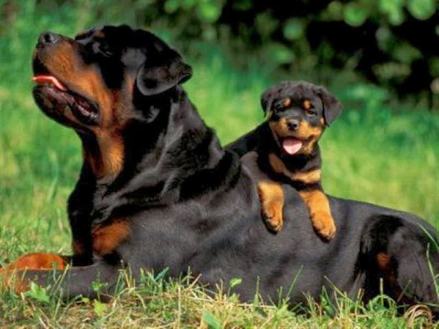 10 Most Popular Dog Breeds in America. Rottweiler is the 10th one, click the pic for complete list.
