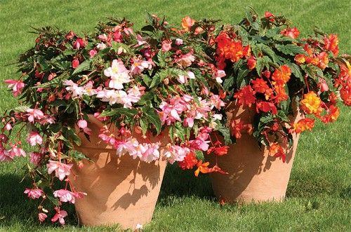 http://www.kertvarazsmagazin.hu/index.php/egynyari-noevenyek/6039-gumos-begonia-begonia-tuberhybrida