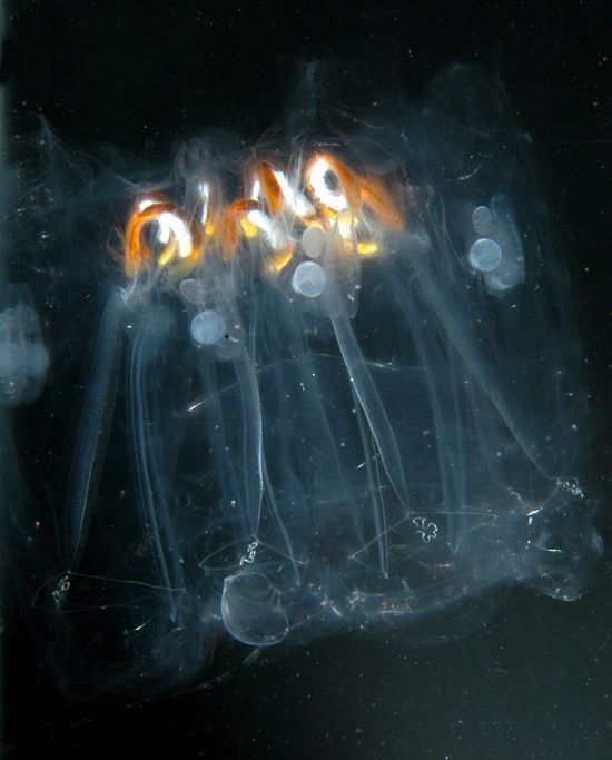 A colony of 12 salps drifts through the distant tropical waters of the Phoenix Islands. The salps are transparent tubular animals arranged around a center, like segments in an orange. For food, they filter tiny particles out of the water, and the orange loops are their stomachs. Each salp, both mom and pop, carries a baby (see the small tube attached to two circles, upper left) and a testis (the bright white areas near the stomachs.): Animals Arranged, Salps Drifts, Tubular Animals, Baby, 12 Salps, Animals Bugs