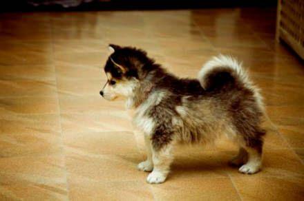 Siberian Husky Chow Mix Puppy