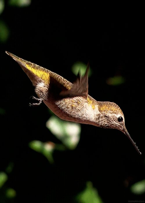 Hummingbirds can beat their wings up to 80 times a second during normal flight and up to 200 times per second during a courtship dive. They are the only bird that can fly forwards, backwards, up, down ,sideways and hover in mid air.