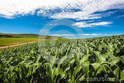 Rain water are vital to a good harvest of maize crops. The wide angle photo image overlooking a growing crop of maize on a summers day morning, with blue sky and high cirrus clouds and dirt farm road in the distance of the horizontal frame picture.