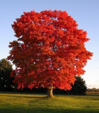 Red Maple. Grows about 4' per year, provides brilliant red display in the autumn as a bonus!
