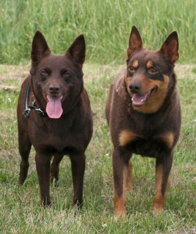 The Kelpie is an Australian sheep dog successful at mustering and droving with little or no command guidance. They are medium-sized dogs and come in a variety of colors. Kelpies have been exported throughout the world and are used to muster livestock, primarily sheep, cattle and goats