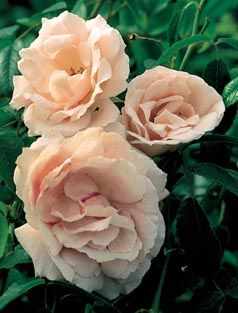 1955  Alma de l'Aigle, a European rosarian, must have pleased the grower greatly to have had this exquisite rose named after her! The flowers are much larger than most Hybrid Musks, blooming in clusters of fat, light pink roses that are faintly flushed with salmon in cooler weather. This rose is somewhat slow growing but is a prolific bloomer in spring and fall, with an excellent fragrance. Tolerates part shade