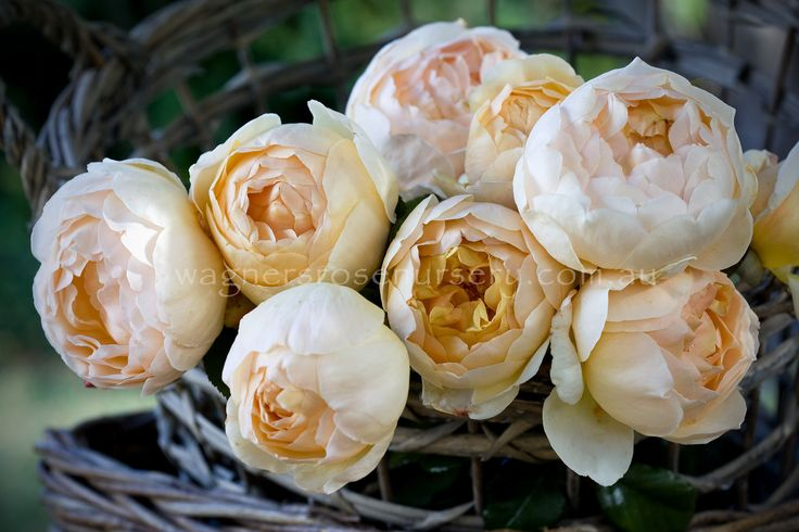Jude the Obscure.  David Austin roses