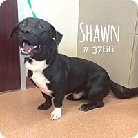 Adopt A Pet :: Shawn - Alvin, TX