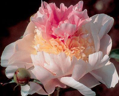 Klehm's Song Sparrow Farm and Nursery--PEONY--'Pink Parasol Surprise'