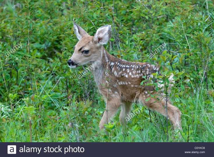 Mule Deer (Odocoileus hemionus), deer calf, Yellowstone National Park, Wyoming, USA, North America Stock Photo 1hour before sunset will come out of grass hiding places to play with other babies of the herd