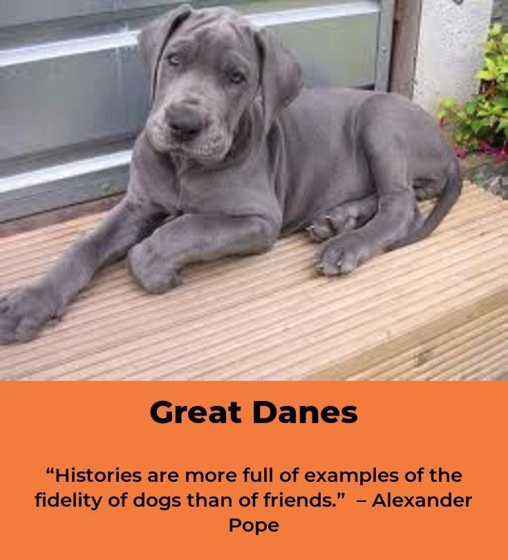Great Danes Great Dane Dogs Great Dane Puppy Dane Dog