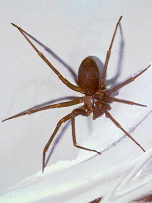 Common Spider Bite Symptoms: Household, Wolf Spider ...